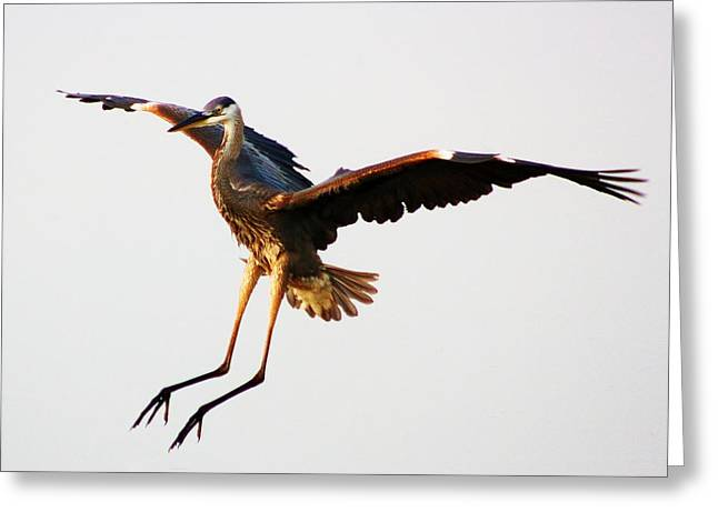 Great Blue Heron Landing Greeting Card by Paulette Thomas
