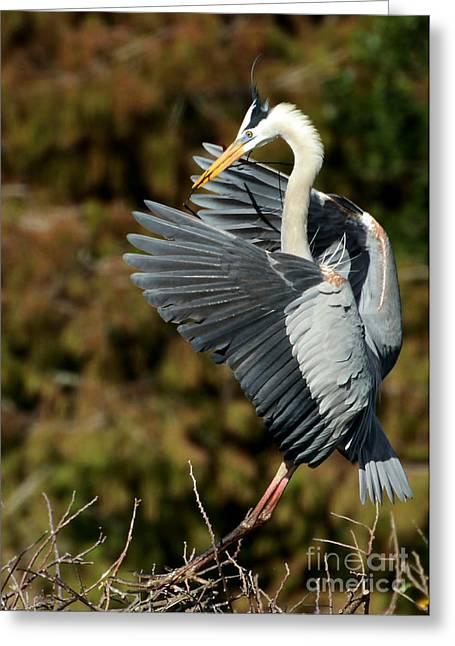 Great Blue Heron Landing Greeting Card by Sabrina L Ryan