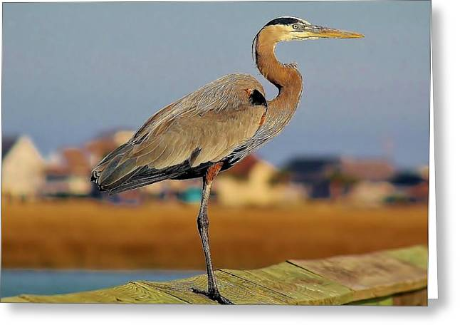 Great Blue Heron On The Marsh Greeting Card by Paulette Thomas