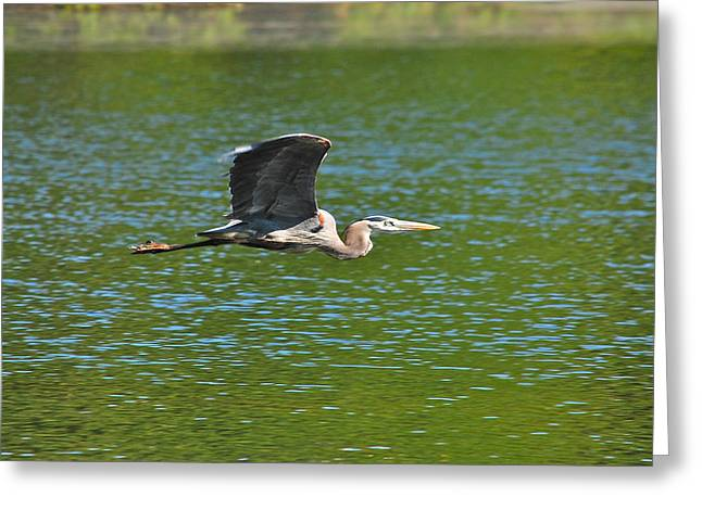 Great Blue Heron Reaching Cruise Altitude Greeting Card