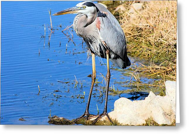 Great Blue Heron Resting Greeting Card by Suzie Banks