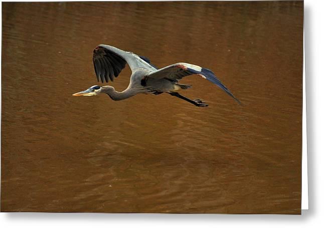 Great Blue Heron Rising - C9740d Greeting Card