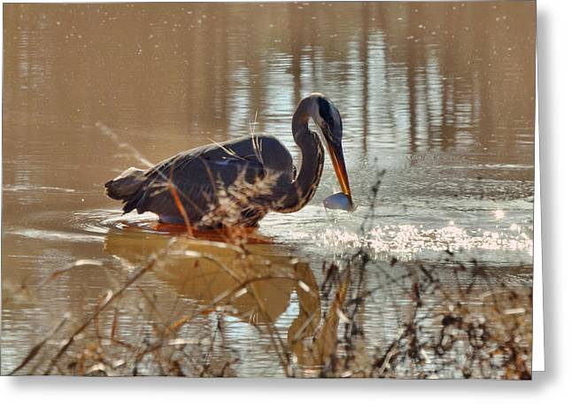 Great Blue Heron Snagging Fish - C3266h Greeting Card by Paul Lyndon Phillips