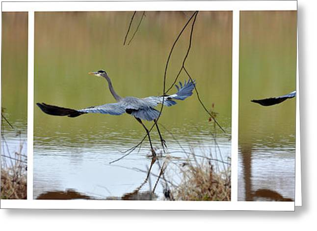 Great Blue Heron Takes Flight - T9535-7h  Greeting Card by Paul Lyndon Phillips