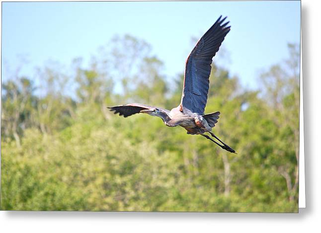 Great Blue Heron Underbelly Greeting Card
