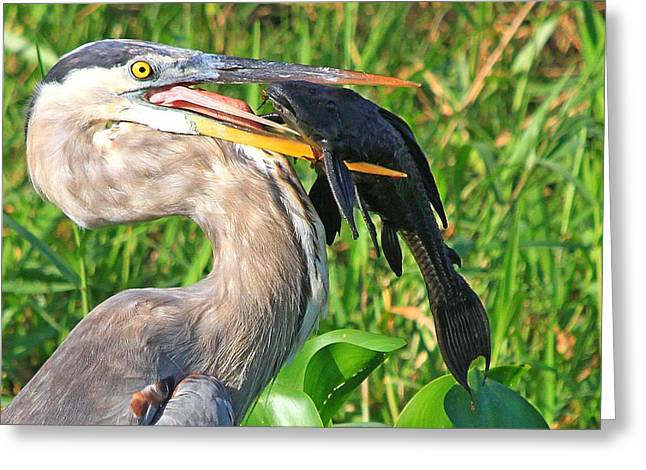 Great Blue Heron With Catfish Greeting Card
