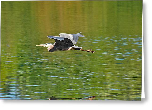 Great Blue Heron With Confidence Greeting Card