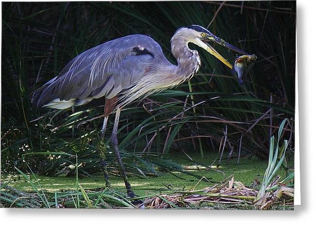 Great Blue Heron With The Catch Of The Day Greeting Card by Paulette Thomas