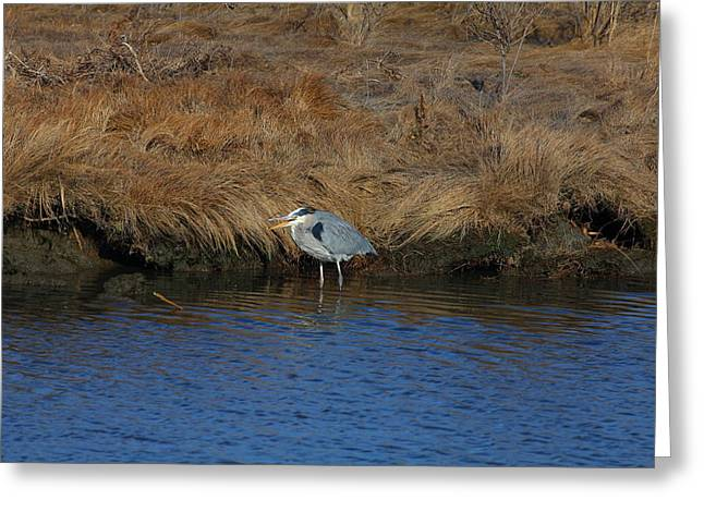 Great Blue Heron7 Greeting Card