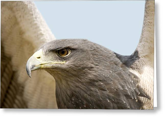Great-chested Buzzard Eagle Greeting Card