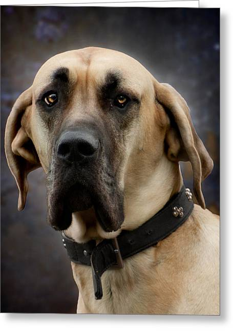 Greeting Card featuring the photograph Great Dane Dog Portrait by Ethiriel  Photography
