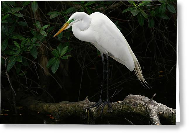 Great Egret Greeting Card by Anne Rodkin
