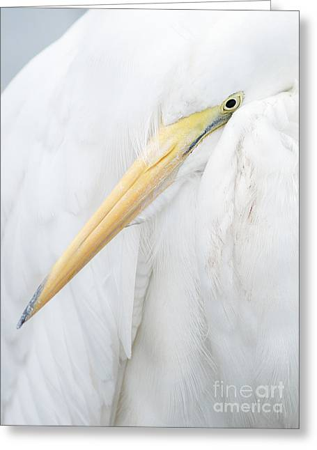 Greeting Card featuring the photograph Great Egret by Doug Herr
