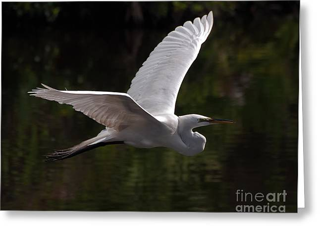 Great Egret Flying Greeting Card