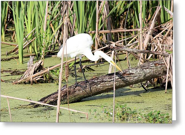Great Egret Hunting Greeting Card by Suzie Banks