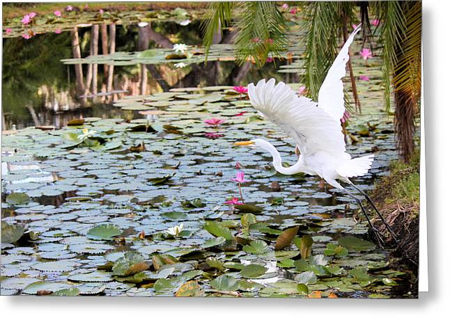 Great Egret In Flight Greeting Card by Suzie Banks