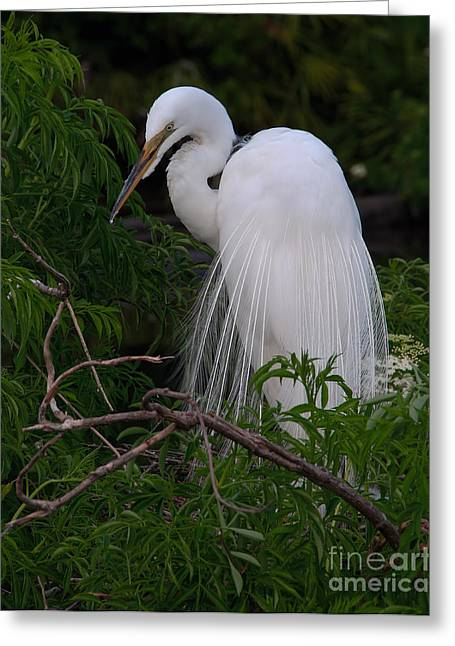 Great Egret Nesting Greeting Card