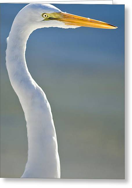 Great Egret Greeting Card by Patrick M Lynch