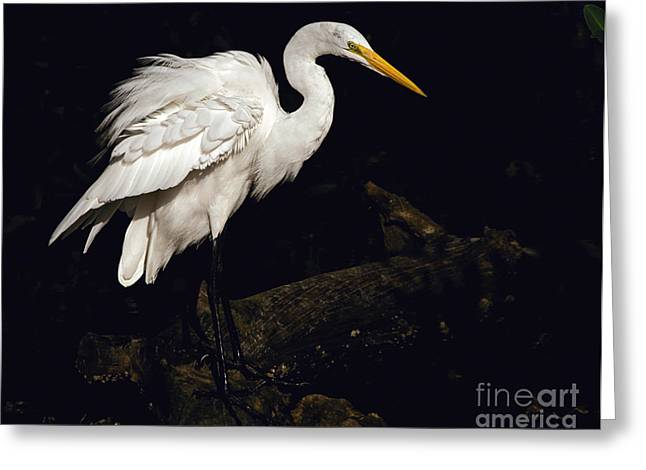 Great Egret Ruffles His Feathers Greeting Card by Art Whitton