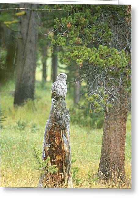 Great Gray Owl On Tree Stump Greeting Card