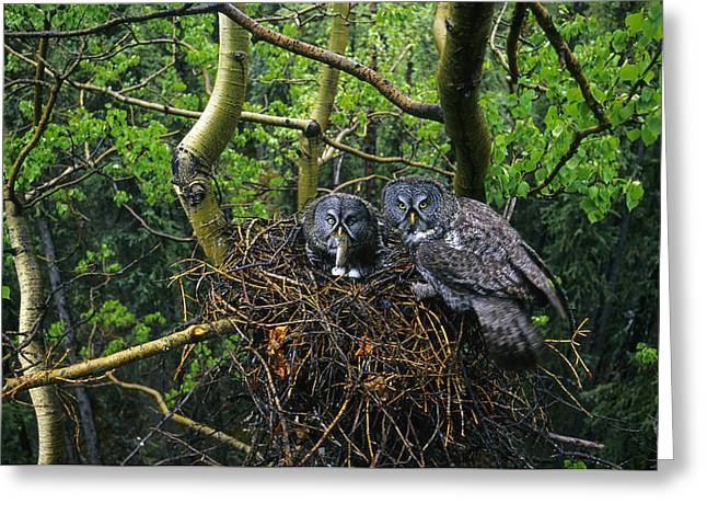 Great Gray Owls,  Male Has Brought Greeting Card by Michael S. Quinton