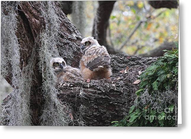 Great Horned Owlets Greeting Card