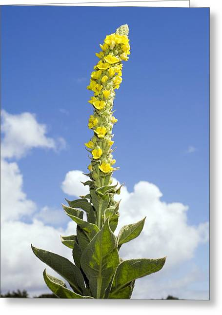 Great Mullein (verbascum Thapsus) Greeting Card by Duncan Shaw