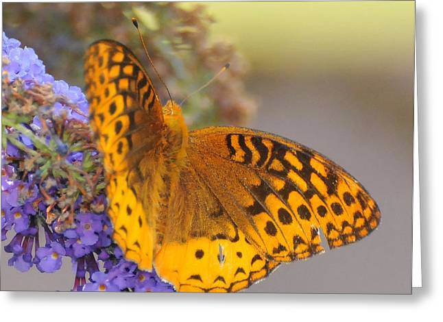 Great Spangled Fritillary Butterfly Greeting Card by Paul Ward