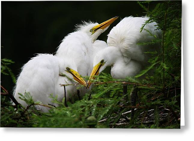Great White Egret Babies In The Nest Greeting Card by Paulette Thomas