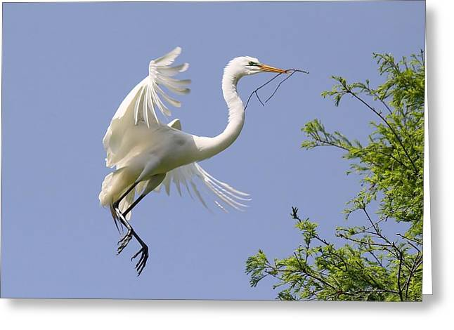 Great White Egret Building A Nest Greeting Card by Paulette Thomas