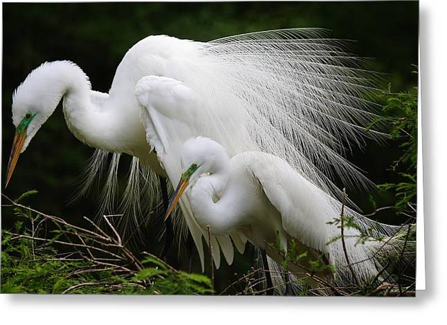 Great White Egret Mates Greeting Card by Paulette Thomas