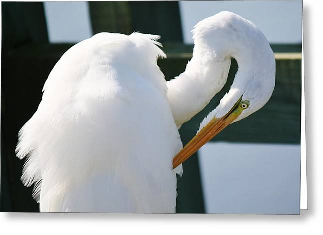 Great White Egret Preening Greeting Card by Paulette Thomas