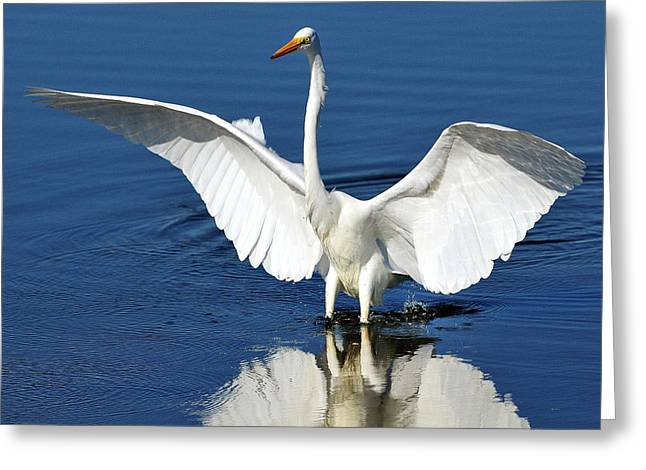 Great White Egret Spreading Its Wings Greeting Card