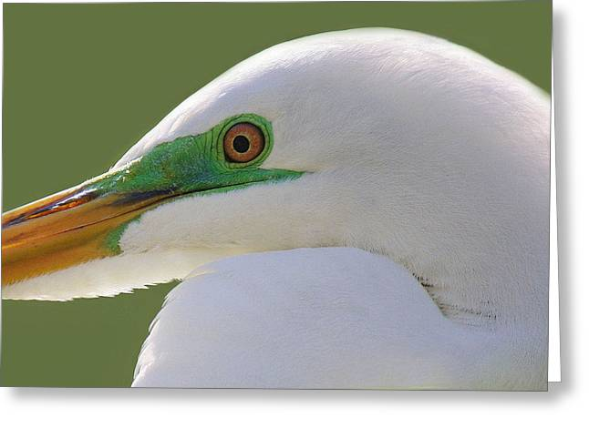 Great White Egret Up Close And Personal Greeting Card by Paulette Thomas