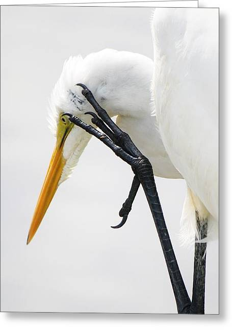 Great White Egret With A Itch Greeting Card by Paulette Thomas