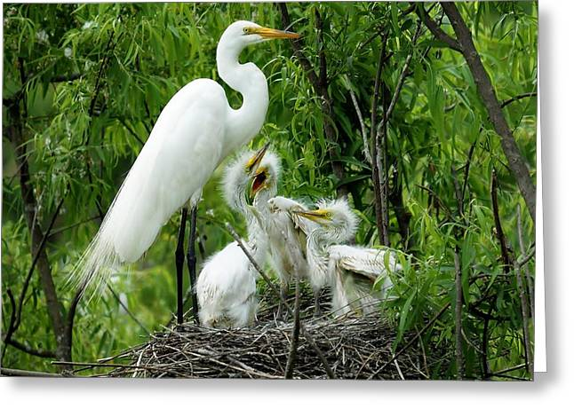 Great White Egret With Babies Greeting Card by Paulette Thomas
