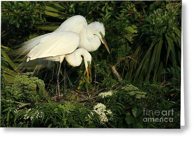 Great White Egrets Nesting Greeting Card