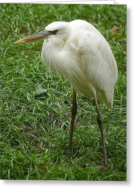 Greeting Card featuring the photograph Great White Heron by Myrna Bradshaw