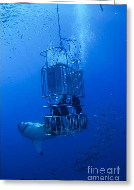 Great White Shark And Divers, Guadalupe Greeting Card by Todd Winner