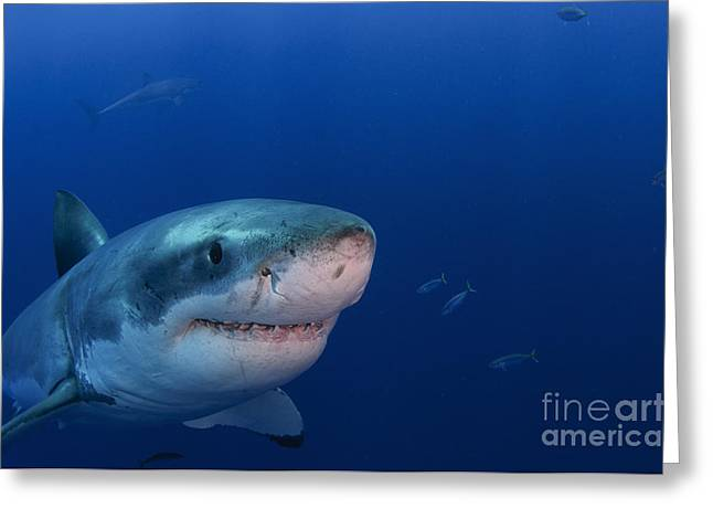 Great White Shark, Guadalupe Island Greeting Card by Todd Winner