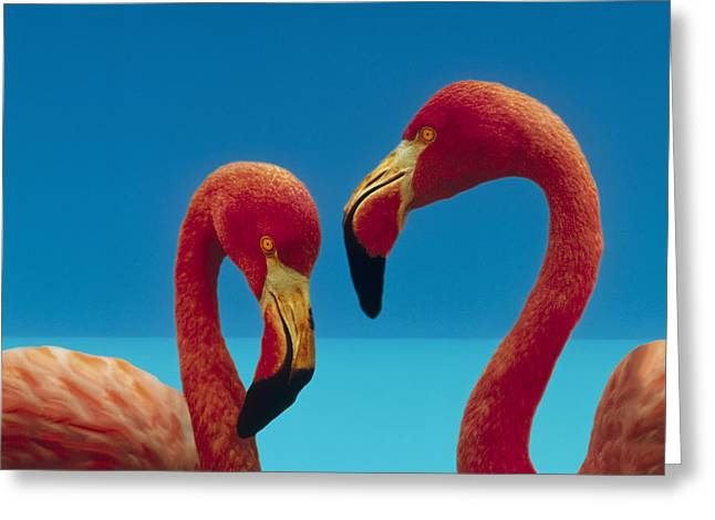 Greater Flamingo Courting Pair Greeting Card