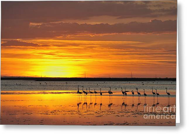 Greater Flamingos In Pond At Sunset Greeting Card by Sami Sarkis