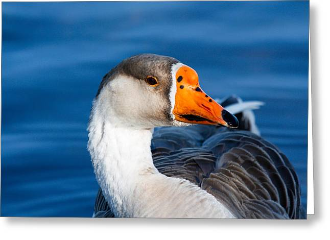 Greater White Frontal-goose Striking A Pose Greeting Card by Ann Murphy