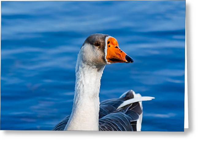 Greater White-fronted Goose Looking For A Mate Greeting Card