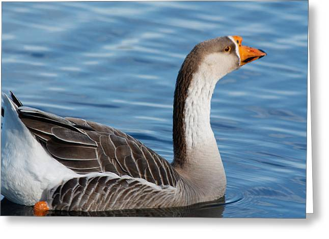 Greater White-fronted Goose Paddling Away Greeting Card by Ann Murphy