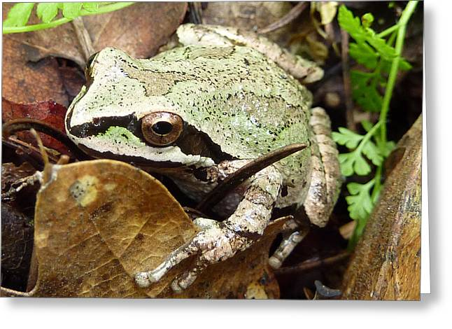 Green And Brown Frog Greeting Card by Cindy Wright