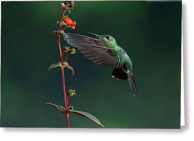 Green Crowned Brilliant Greeting Card