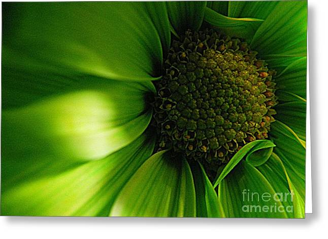 Greeting Card featuring the photograph Green Daisy by Robin Dickinson