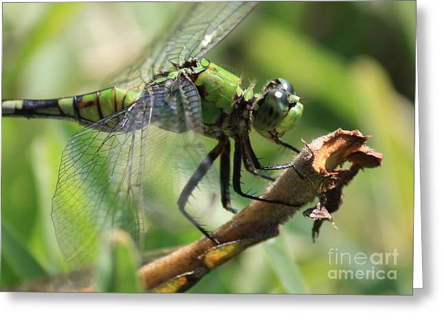 Green Dragonfly In Marsh Greeting Card
