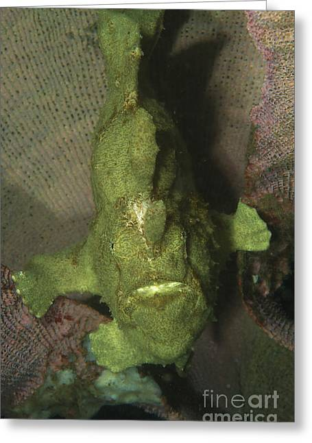 Green Frogfish In Sponge, North Greeting Card by Mathieu Meur